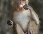 Ross Fairgrieve - Macaque - Krabi, Thailand